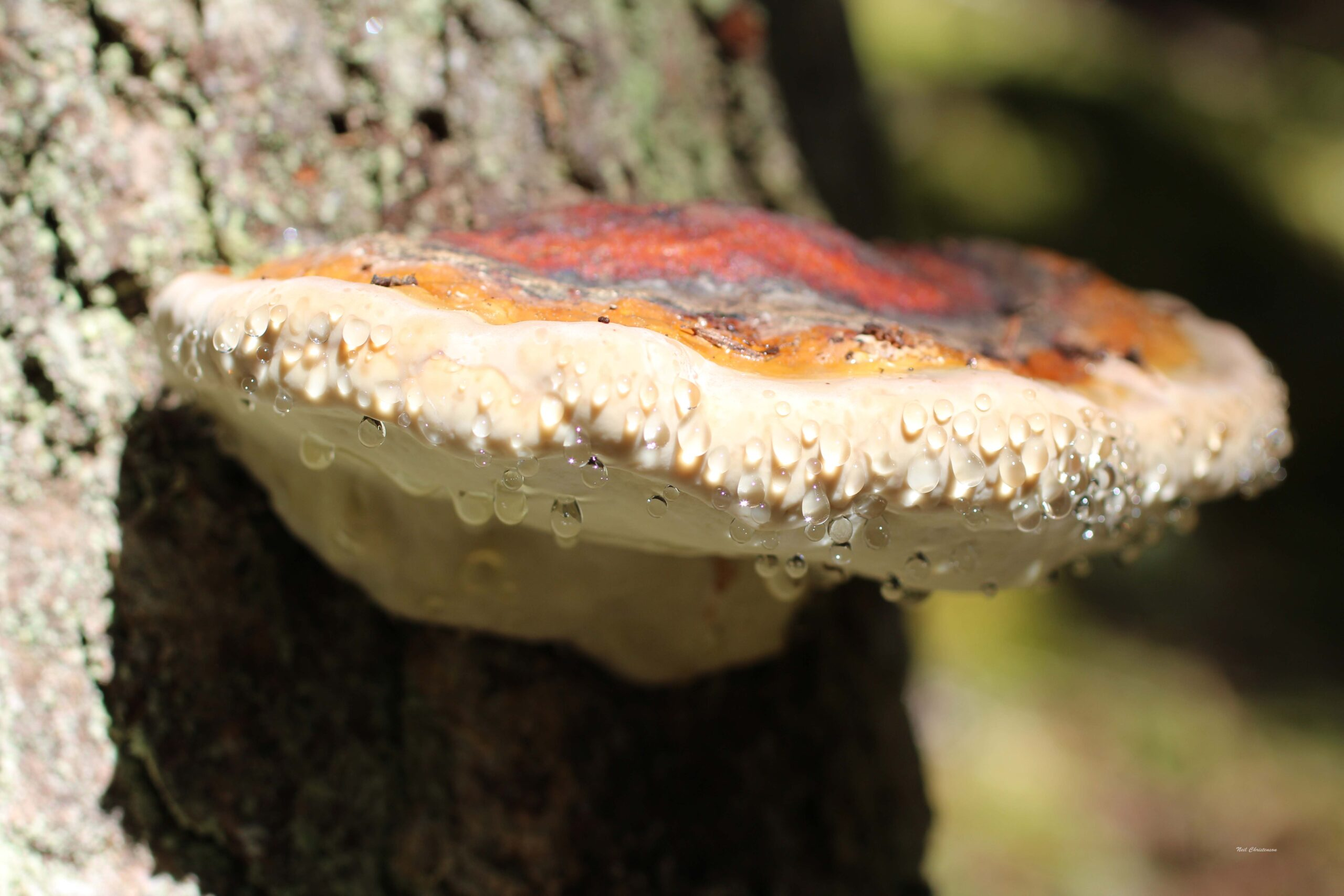 A dew-covered mushroom growing on a tree.