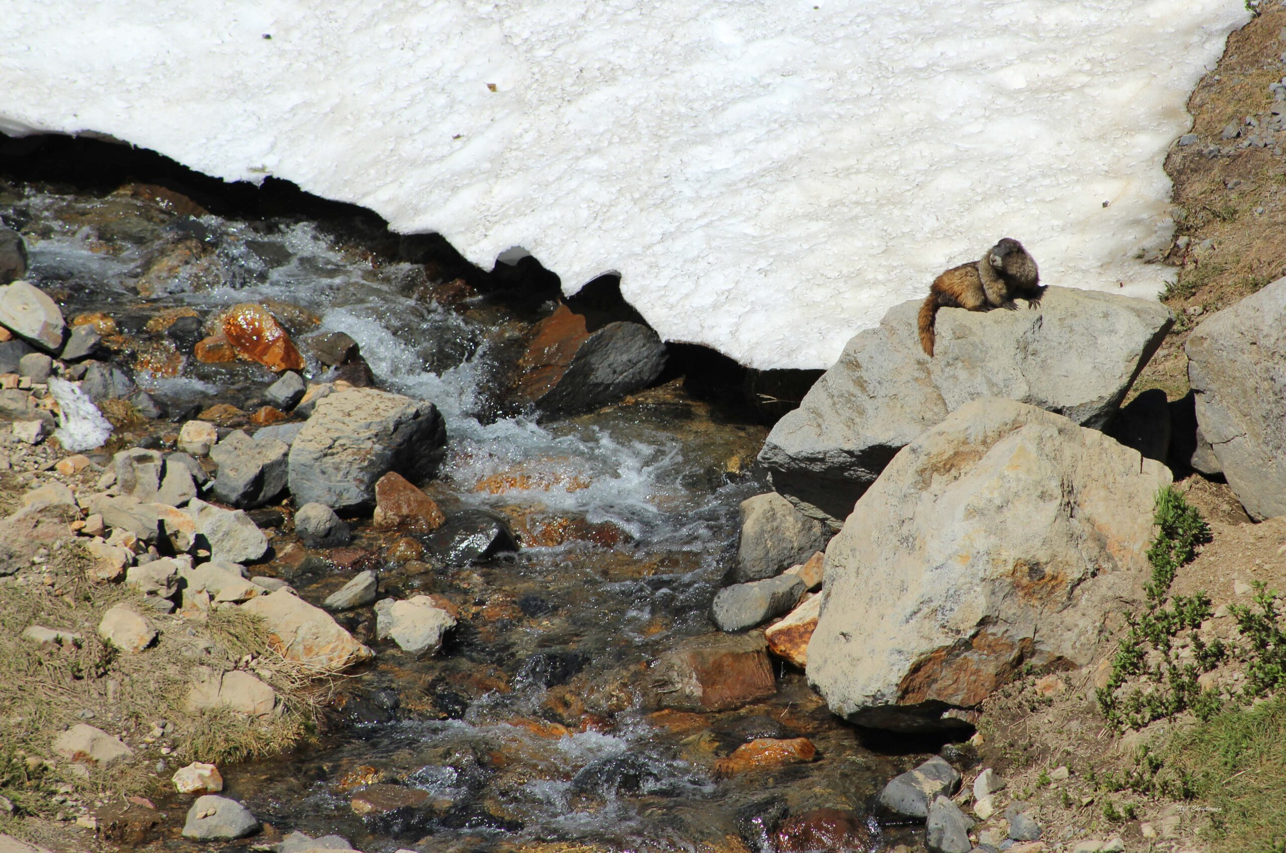 A marmot sitting on a rock besides a meltwater stream.