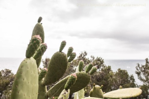 Cactii in bloom
