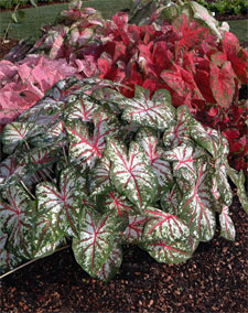 plant of month - neil sperry's