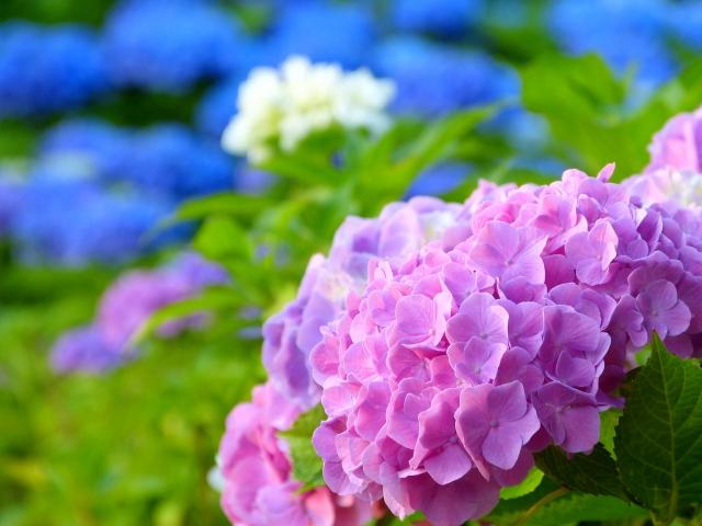 紫陽花の花言葉の意味に良いものとイメージの悪いのがあるのはなぜ?