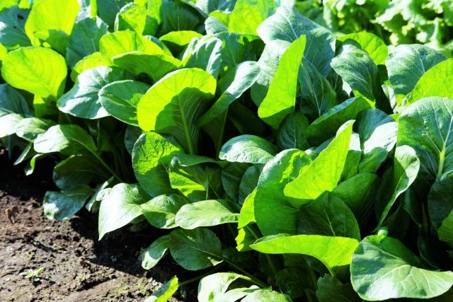 小松菜とほうれん草の違いと見分け方は?栄養や味はどう違う?