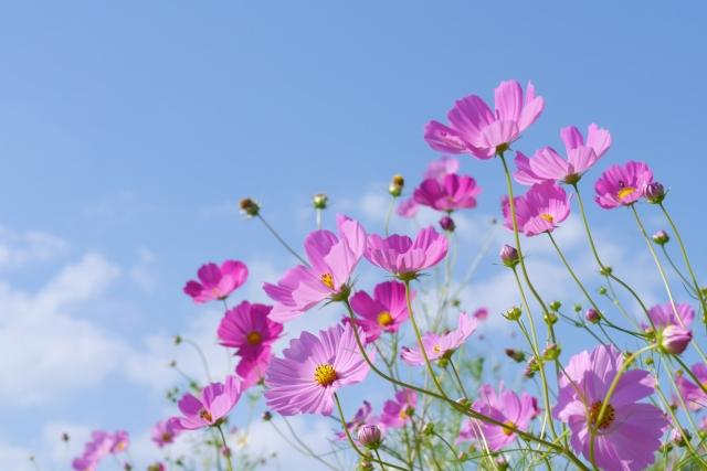 秋桜と書いてコスモスと読むのはなぜ?どんな花が名前の由来?