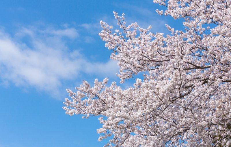 お花見の由来や起源とは?春に桜を愛でる歴史文化のルーツをご紹介!
