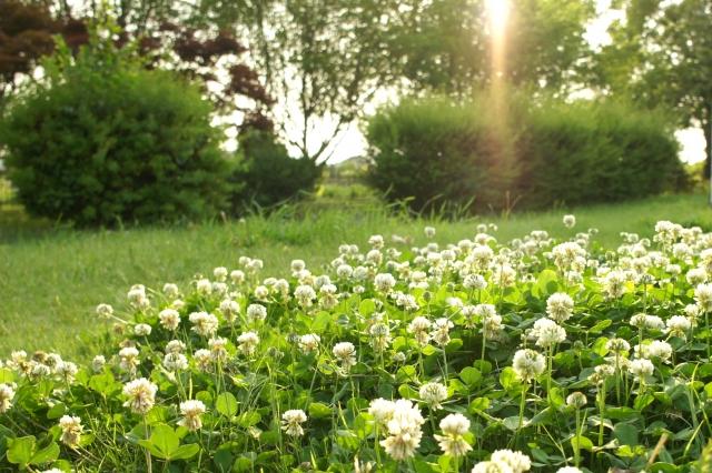 シロツメクサの花言葉の由来は?クローバーの葉の枚数による違いもご紹介