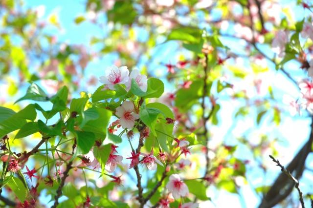 桜が葉桜になる時期は?時候の挨拶で4月に使う時の例文と注意点