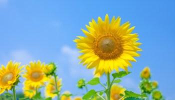 意味 高嶺 の 花