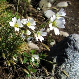 Blome