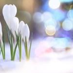 「早春のクロッカス」 アートの感想をいただきました♪