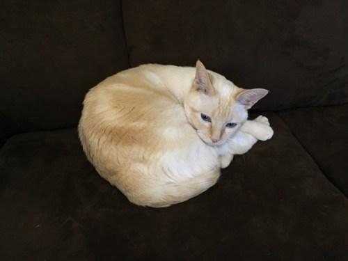 ソファの上の猫