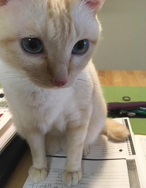 勉強を邪魔する猫
