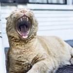 猫のあくび