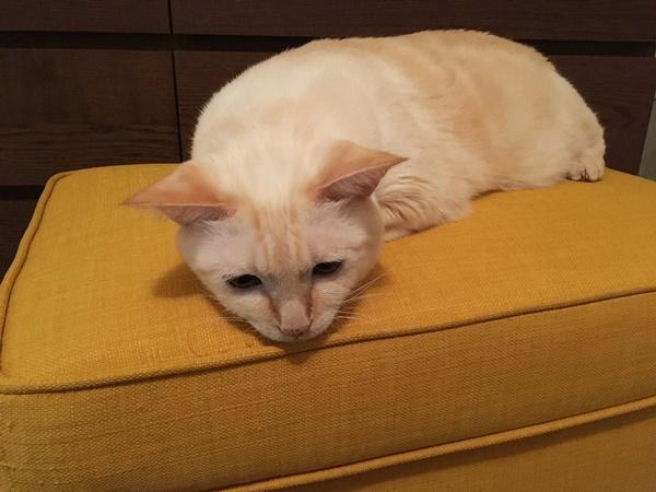黄色い椅子の上で涼む猫