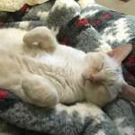気持ちよく寝る猫