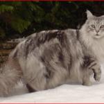 メインクーンの大きさや体重は?猫の王様の飼い方や値段は?