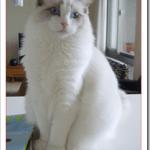 ラグドールの飼い方や値段は?ぬいぐるみ猫の大きさや性格は?