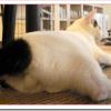 しっぽが短い猫の種類や性格は?なぜ長さが違うのか?