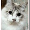 猫アレルギーが猫を飼う方法は?ロシアンブルーかベンガル?