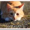 猫の妊娠期間と確認する方法は?初期の兆候と妊娠中の交尾は?