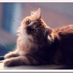 猫キムリックの値段や性格と飼い方は?しっぽ特徴とマンクスとの違いは?