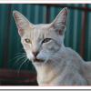 猫の膀胱炎にきく薬やサプリメントは?抗生物質や食事療法は?