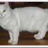 アルパインリンクスの値段と性格と飼い方は?真っ白な被毛が特徴?