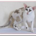 オリエンタルバイカラーの値段と性格や飼い方は?白の斑点が条件の猫?