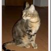猫ソコケの値段と性格や飼い方は?木の皮に見える縞模様の被毛?