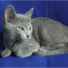 被毛がグレーの猫の種類は?ブルーキャットの飼い方や性格は?