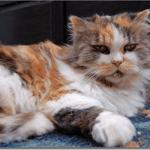 大きい猫のおすすめ種類は?トイレや食費など飼い方は?