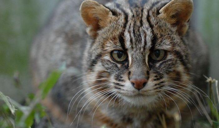 [動画あり]天然記念物イリオモテヤマネコってツアーで会える?絶滅危惧種の理由とは?