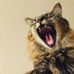 [命の危険もある!?]猫の歯周病予防の方法とチェックリスト