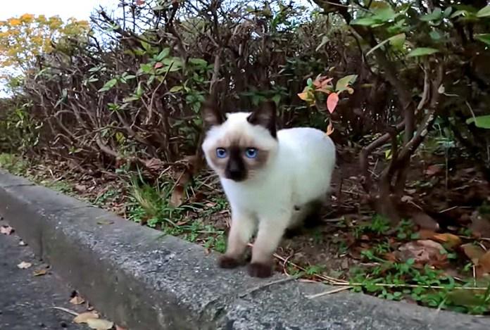 ドキドキのシャム猫