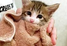 タオルで包まれる子猫