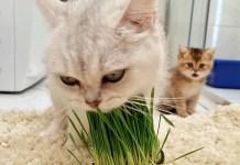 猫草を食べるお母さんに驚く子猫