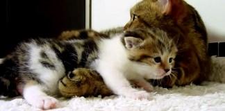 お母さんに抱っこされる子猫
