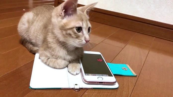 スマートフォンと子猫