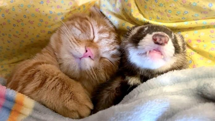 添い寝する猫とフェレット