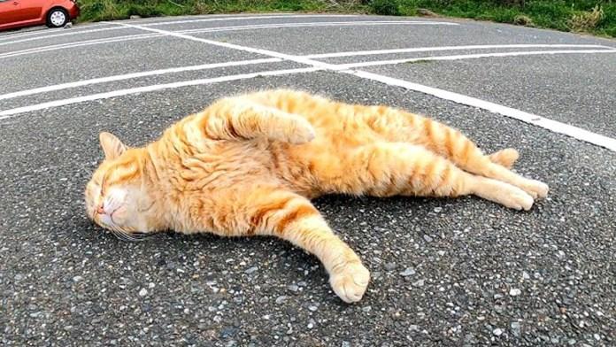ゴロンとする猫