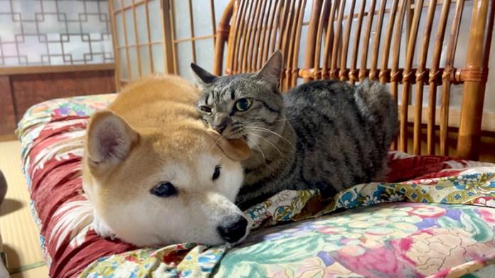 柴犬を噛む猫