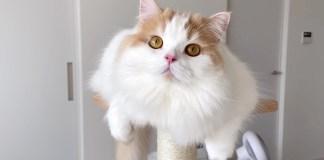 キャットタワーが気になる猫