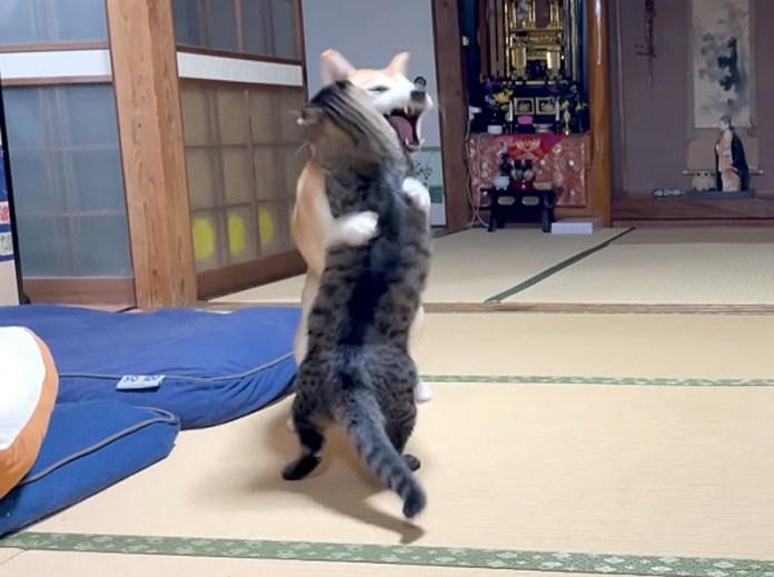 ぶつかり稽古をする柴犬とキジトラ猫