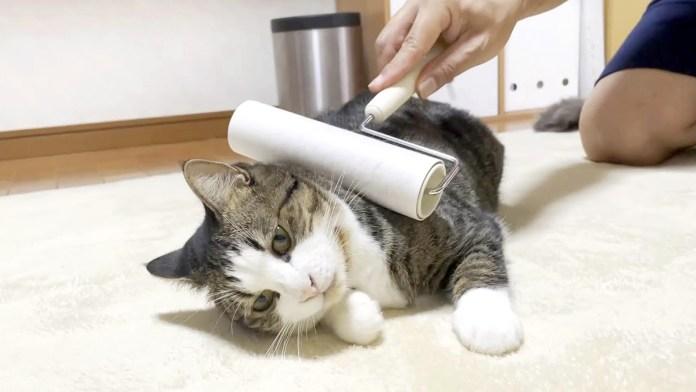 コロコロされる猫