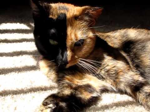 130301cat - ビーナスという名の、キメラ猫(動画)