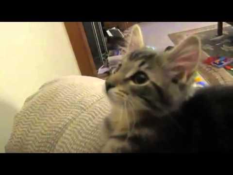 130402cat - ヤギさんのように鳴く子猫