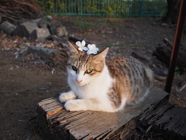130529cat 600x450 - 本日の美人猫vol.22