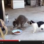 突如あらわれたアライグマに、ご飯を奪われて困惑する猫(動画)