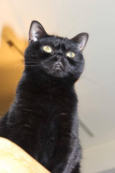 130809angercat 400x600 - 眉間に皺を寄せて、なにかに怒る黒猫