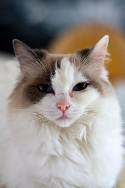 131126cat 401x600 - 本日の美人猫vol.47
