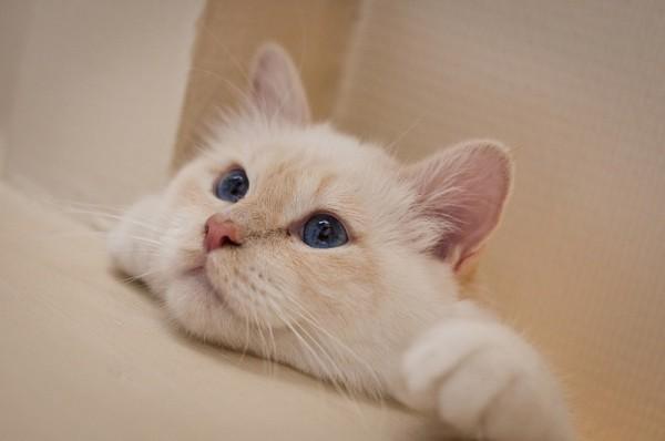 131206cat 600x398 - 本日の美人猫vol.50